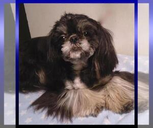 Father of the Shih Tzu puppies born on 02/28/2019