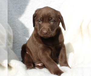 Labrador Retriever Dog for Adoption in EAST EARL, Pennsylvania USA