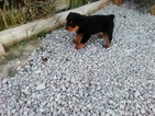 Rottweiler Puppy For Sale in DILLON, MT, USA