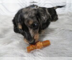Small Photo #3 Dachshund Puppy For Sale in HAWESVILLE, KY, USA