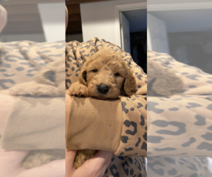 Goldendoodle Puppy for sale in HULMEVILLE, PA, USA