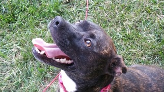 Jack Russell Terrier-Mountain Cur Mix Dogs for adoption in CLARKSVILLE, TN, USA