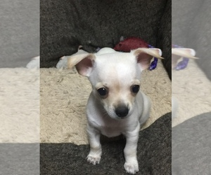 Chihuahua Puppy for sale in GEORGETOWN, TX, USA
