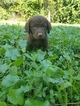 Chessie Puppies  Male and Female 6 weeks old
