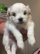 Shiranian Puppy For Sale in ALVATON, KY, USA