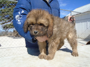 Tibetan Mastiff Puppy For Sale in GALVA, IL, USA