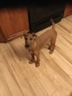 Irish Terrier Puppy For Sale in CHESTERLAND, OH, USA