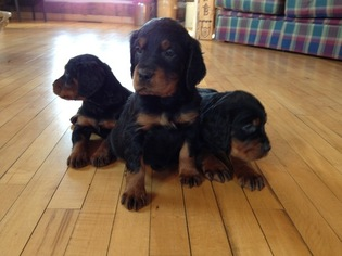 Gordon Setter Puppy For Sale in ADELL, WI, USA