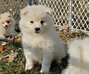 Alaskan Klee Kai-Pomsky Mix Puppy for sale in JOICE, IA, USA