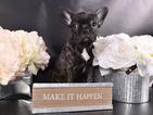 French Bulldog Puppy For Sale in HENRICO, VA, USA