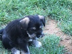 Schnauzer (Miniature) Puppy For Sale in NEWARK, DE,