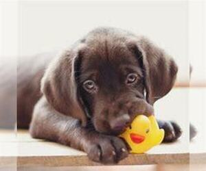 Labrador Retriever Puppy for sale in CADILLAC, MI, USA
