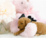 Small #4 Goldendoodle (Miniature)