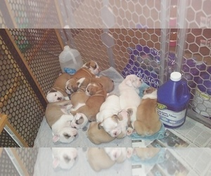 Bulldog Puppy for Sale in LEBANON, Indiana USA
