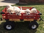 AKC Yellow Lab Puppies