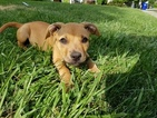 American Staffordshire Terrier Puppy For Sale in CLEVELAND, OH, USA
