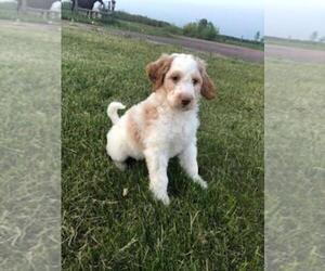 View Ad English Setter Poodle Standard Mix Puppy For Sale Near Minnesota Finlayson Usa Adn