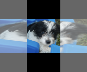 Morkie Puppy for Sale in FORT WORTH, Texas USA