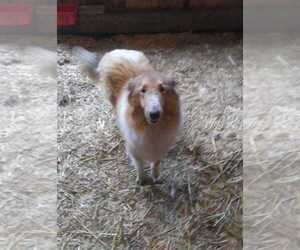 Collie Dog for Adoption in BETHANY, Kentucky USA