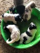Great Pyrenees Puppy For Sale in AIRVILLE, PA, USA