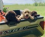 Small Photo #11 Labrador Retriever Puppy For Sale in AVA, MO, USA