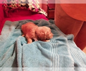 Goldendoodle Puppy for Sale in SPRING, Texas USA