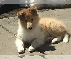 Collie Puppy for Sale in CHISAGO CITY, Minnesota USA