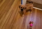 Puggle Puppy For Sale in MARIETTA, GA,