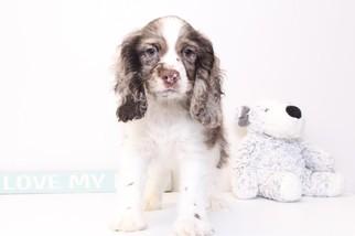Cocker Spaniel Puppy For Sale in NAPLES, FL