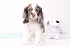Cocker Spaniel Puppy For Sale in NAPLES, FL