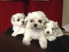 Maltese Puppy For Sale in CANONSBURG, PA