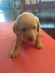 Labrador Retriever Puppy For Sale in BUCKEYE, AZ, USA