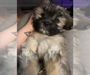 Mal-Shi Puppy for sale in HEPHZIBAH, GA, USA
