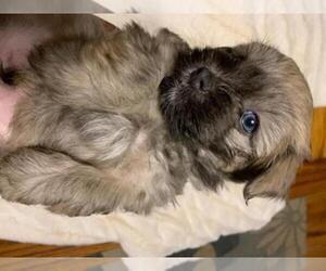 Havanese Puppy for sale in KODAK, TN, USA