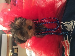 Yorkshire Terrier Puppy For Sale in TAUNTON, MA