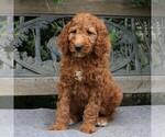 AKC Standard Poodle