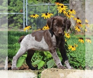 German Shorthaired Pointer Puppy for sale in PARADISE, PA, USA