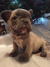 French Bulldog Puppy For Sale in ORRTANNA, PA