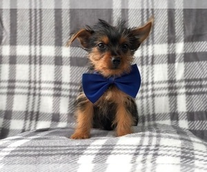 Yorkshire Terrier Puppy for sale in LAKELAND, FL, USA
