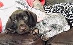 German Shorthaired Pointer Puppy For Sale in SUMMERFIELD, North Carolina,