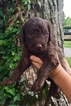 Labradoodle Puppy For Sale in FRANKLIN, KY, USA