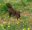 Lab Puppy AKC Chocolate Female