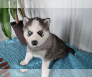 Siberian Husky Puppy for sale in KALAMAZOO, MI, USA