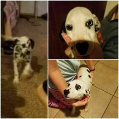 Dalmatian Puppy For Sale in LAWTON, OK, USA