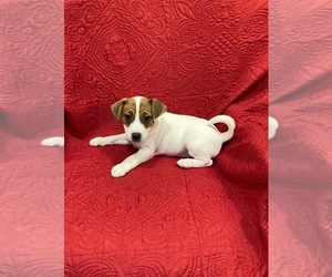 Jack Russell Terrier Puppy for Sale in MANSFIELD, Texas USA