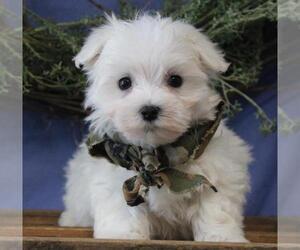 Maltese Dog for Adoption in ORO VALLEY, Arizona USA