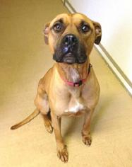 Bronson - Boxer / Terrier / Mixed Dog For Adoption