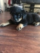Rottweiler Puppy For Sale in BEAVERTON, OR, USA
