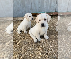 Labrador Retriever Puppy for Sale in FORT LUPTON, Colorado USA