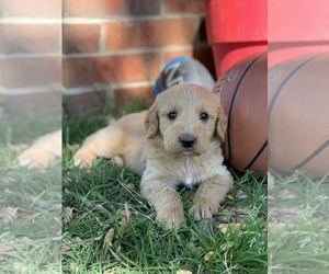 Labradoodle Puppy for sale in SEDAN, KS, USA